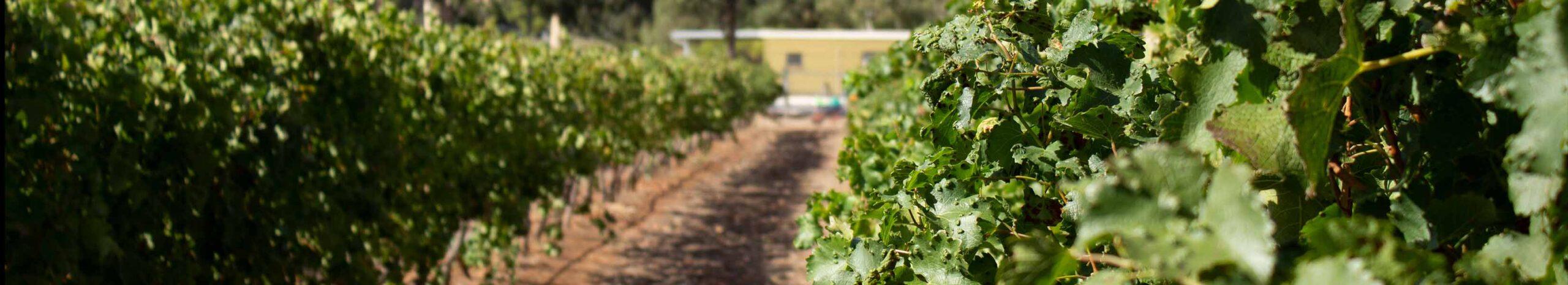 Vineyard Band 3